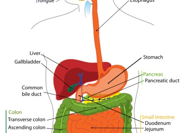 most important steps of digestion